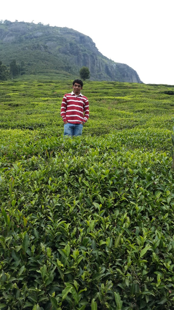 The Verdant green of a tea Garden